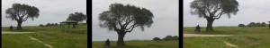 3 verschillende kaders van dezelfde boom ivm camera oefeningen training van Gert de Graaff